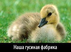 Башкирский гусь